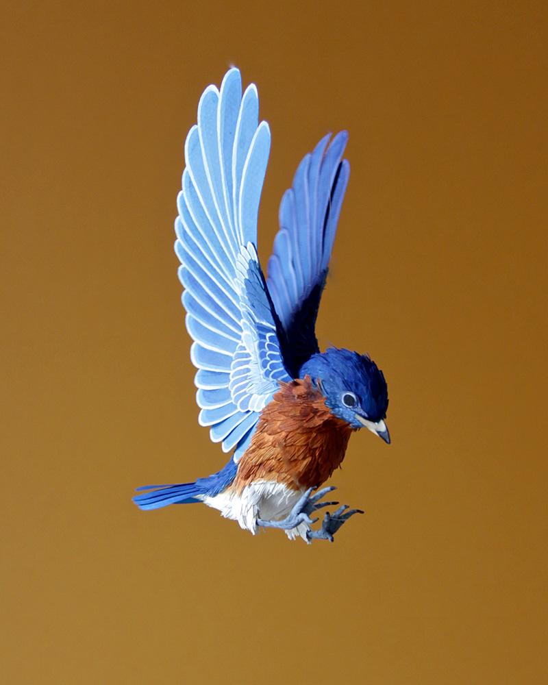 Eastern Bluebird. 2014