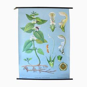 Tabla de botánica de ortiga muerta blanca