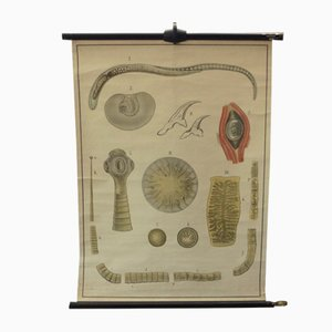 Vintage Educational Tapeworm Anatomy Chart, 1930s