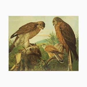 Affiche Educative Oiseaux de Proie, Allemagne