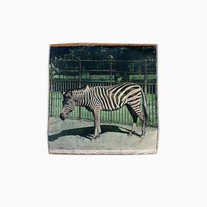 Vintage Zebra Wandkarte, 1917
