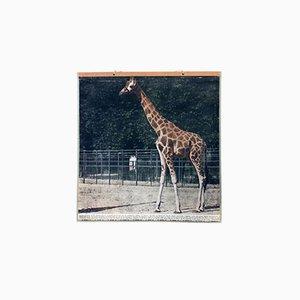 Vintage Giraffen Wandkarte, 1916