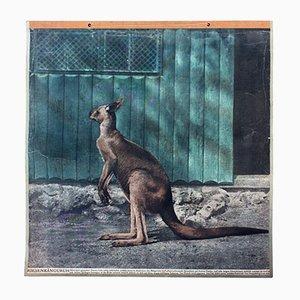 Vintage Känguru Lehrtafel, 1916