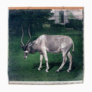 Affiche Murale Vintage d'une Antilope, 1915