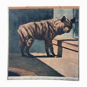 Vintage Hyaene Lehrtafel, 1915