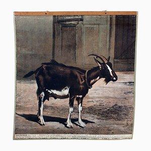 Stampa vintage raffigurante una capra, 1915