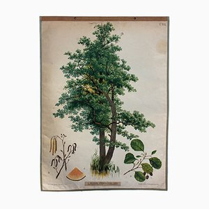 Alder Tree Wall Chart by Joh. Kautsky sen. & G. v. Beck for A. Pichlers Witwe & Sohn, 1879