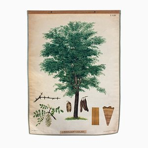 Antique Wall Chart Robinia Tree by J. Fleischmann for A. Pichlers Witwe & Sohn, 1886