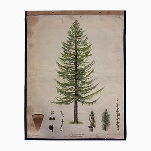Larch Tree Wall Chart by J. Fleischmann for Carl Gerold's Sohn, 1879