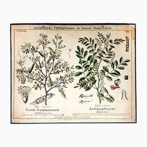 Antike Indigopflanze Lehrtafel von Zippel und Bollmann, 1877