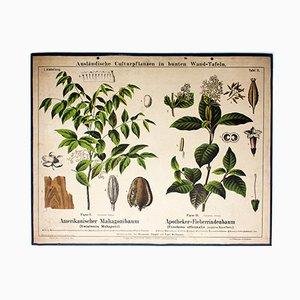 Mahagoni & Chinarindenbaum Lehrtafel von Zippel und Bollmann, 1876