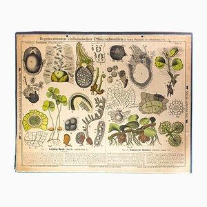 Póster antiguo sobre los tubérculos de Zippel & Bollmann, 1879