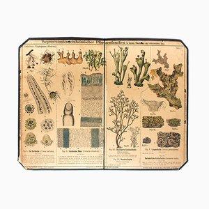 Lichen Wall Chart by Zippel und Bollmann, 1879