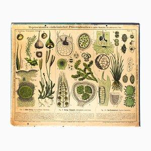 Antike Pflanzenfamilien Lehrtafel von Zippel und Bollmann, 1879