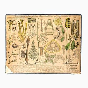 Stampa botanica di Zippel & Bollmann, 1879