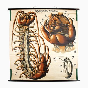 Antique Wall Chart Centipede by Paul Pfurtscheller, 1912