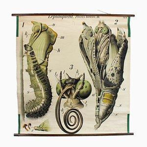 Panneau Educatif Vintage Papillon par Paul Pfurtscheller pour A. Pichler's Witwe & Sohn, Autriche