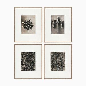 Fotografia botanica con fiori bianchi e neri di Karl Blossfeldt, set di 4