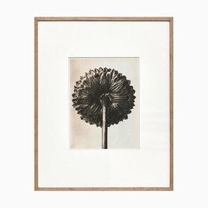 Black White Flower Photogravure Botanic Photography by Karl Blossfeldt, 1942
