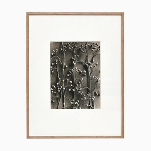 Karl Blossfeldt, Fotoincisione floreale in bianco e nero, 1942