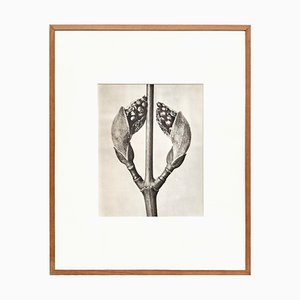Karl Blossfeldt, Black & White Flower Photogravure, 1942