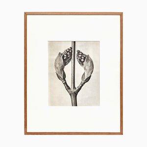 Karl Blossfeldt, Schwarz-Weißer Blumen-Tiefdruck, 1942
