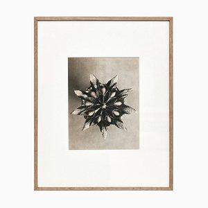 Fotografia botanica con fiore bianco e nero di Karl Blossfeldt, 1942