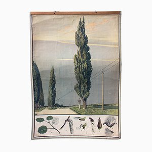 Austrian Educational Wall Chart with Poplar Tree by Hartinger for A. Pichlers Witwe & Sohn, 1879