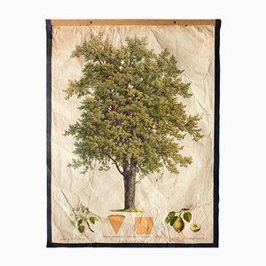 Antike Birnenbaum Lehrtafel von Kautsky und G. v. Beck für Gerold & Sohn, 1886