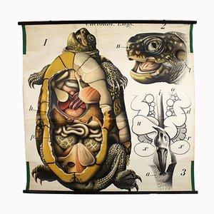 Vintage Schildkröte Lehrtafel von Paul Pfurtscheller, 1913