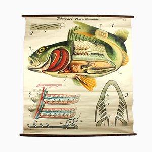 Stampa vintage raffigurante un pesce persico di Paul Pfurtscheller