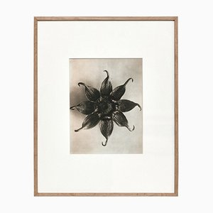 Karl Blossfeldt, Black & White Flower, 1942, fotograbado, enmarcado
