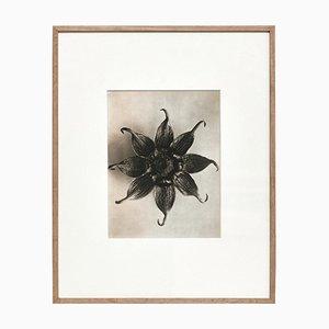 Karl Blossfeldt, Fiore bianco e nero, 1942, Incorniciato