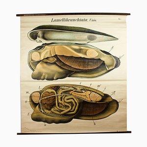 Vintage Muschel Lehrtafel von Paul Pfurtscheller, 1929