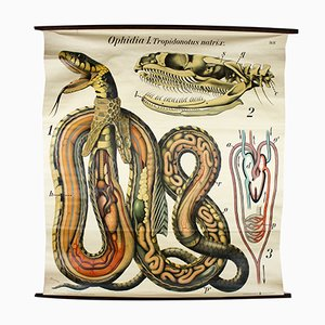 Vintage Wall Chart Grass Snake by Paul Pfurtscheller, 1920