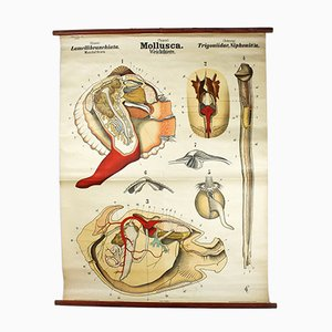 Austrian Teachers Mollusks Wallchart by Rudolf Leuckart, 1879