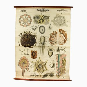 Antique Wall Chart Coelenterates by Rudolf Leuckart, 1879