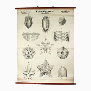 Antique Wall Chart Echinoderms by Rudolf Leuckart, 1879