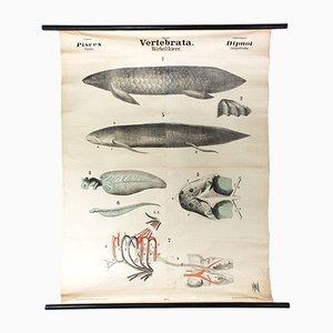 Póster antiguo sobre los vertebrados de Rudolf Leuckart, 1879