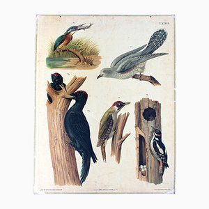 Antique Birds Wall Chart by Carl Gerold's Sohn, 1886