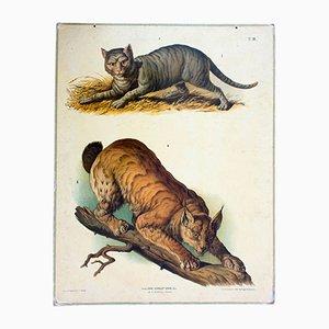 Póster escolar sobre el gato salvaje de A. Gerasch para Carl Gerold's Sohn, 1886