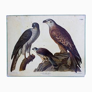 Birds of Prey School Wall Chart by A. Hasenhut for Carl Gerold's Sohn, 1886