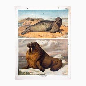 Stampa educativa raffigurante una foca di Th. Breidwieser per Carl Gerold's Sohn, 1886
