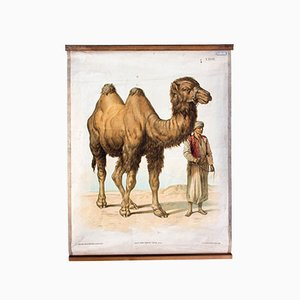 Antique Wall Chart Dromedary by Th. Breidwiser for Carl Gerold´s Sohn, 1886