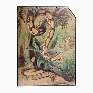 Affiche Educative Boa Constricteur par Friedrich Specht pour F. E. Wachsmuth, 1889