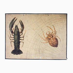 Litografia antica di ragno e aragosta di Friedrich Specht per F.E. Wachsmuth, 1889