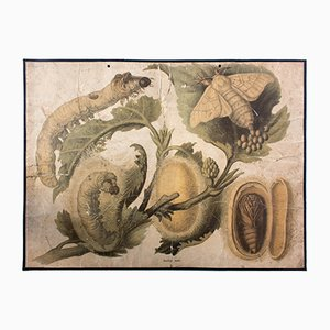 Póster sobre el gusano de seda (Bombyx Mori) de Friedrich Specht para F. E. Wachsmuth, 1878