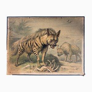 Affiche Educative Hyène à Rayures par Friedrich Specht pour F. E. Wachsmuth, 1878