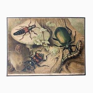 Affiche Educative Scarabée par Friedrich Specht pour F. E. Wachsmuth, 1878