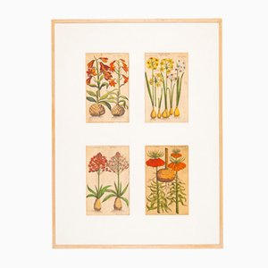 Botanical Drawings, 18th Century, Colored Copper Engraving